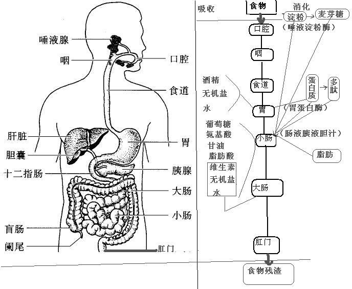 结肠的结构图